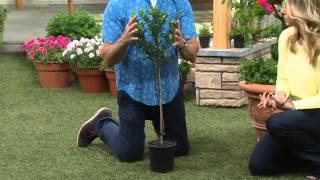 Cottage Farms Double Blooming Gardenia Patio Tree on QVC