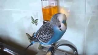 как научить говорить волнистого попугая говорить Птица говорун Попугай