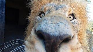 shuffling-lions-the-lion-whisperer