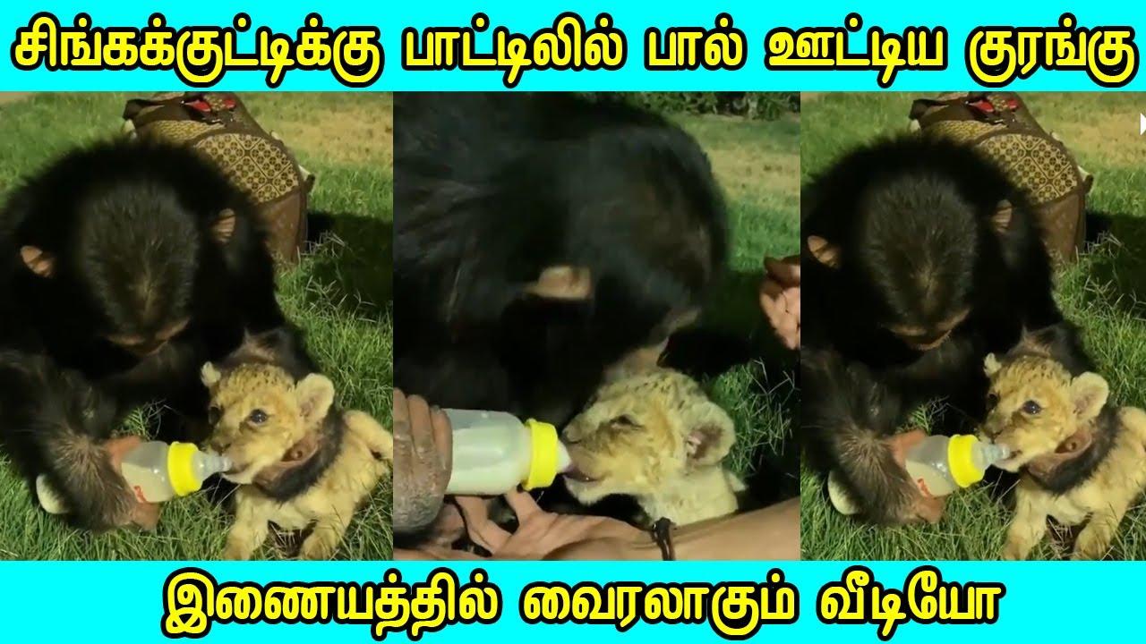 சிங்கக்குட்டிக்கு பாலூட்டிய குரங்கு வைரலாகும் வீடியோ Thamizh Thagaval