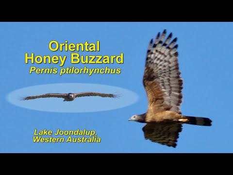 Oriental Honey Buzzard - Lake Joondalup, Western Australia