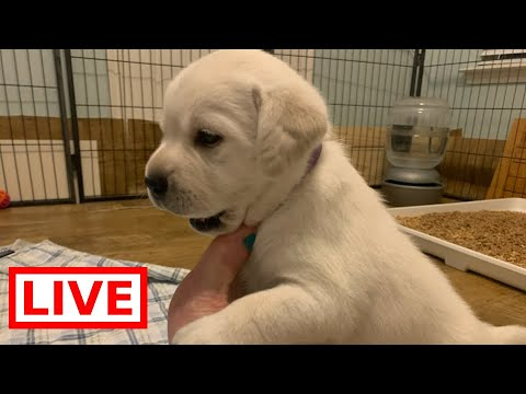 LIVE STREAM Adorable Lab Puppies Day 25