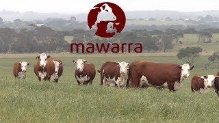Mawarra Genetics Client Focus - Alan Mitchell
