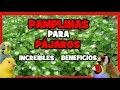 PAMPLINA PARA CANARIOS Y EXOTICOS: USOS Y APLICACIONES   Remedios naturales  