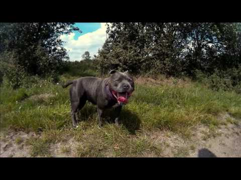 A Walk with my blue staffordshire bull terrier.