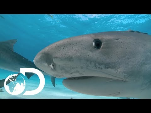 Looking For Tiger Sharks? | Tiger Beach