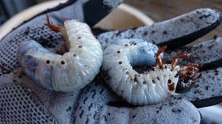ヘラクレスオオカブト(ヘラクレス・ヘラクレス)の幼虫マット交換。だい...