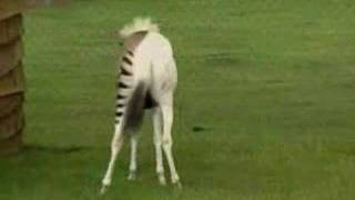 Zebra + At = Zebrat ( Zorse )