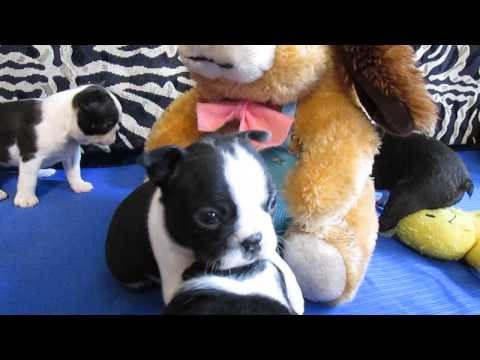 AKC Champion Sired Boston Terrier Puppies For Sale