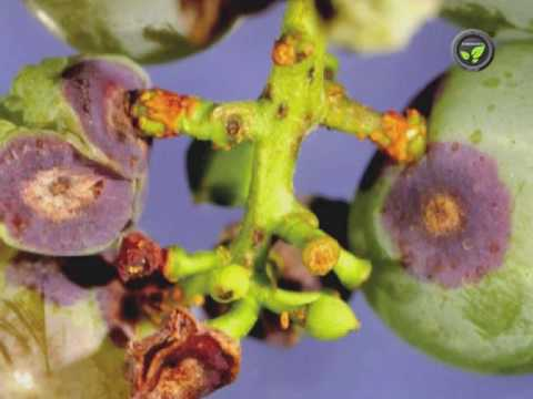 Diseases of Grape Vine - Anthracnose