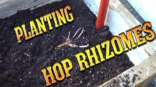 Planting Hop Rhizomes