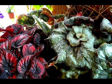 Begonias - updates & some newbies
