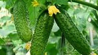 КАК ПРАВИЛЬНО ФОРМИРОВАТЬ ОГУРЦЫ для получения больших урожаев.