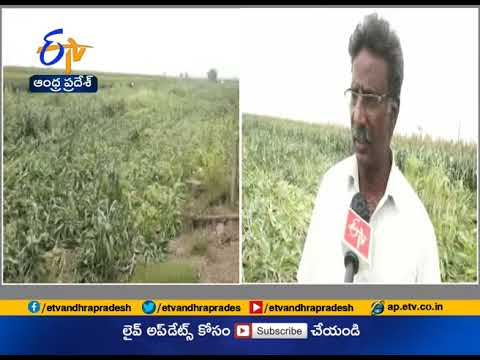 Unseasonal Rain Inflicts Massive Damage to Crops | at Guntur District