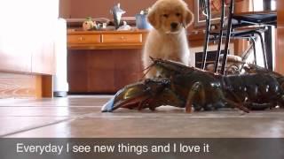"Puppy Golden Retriever Evolution From Day One... ""maple"""