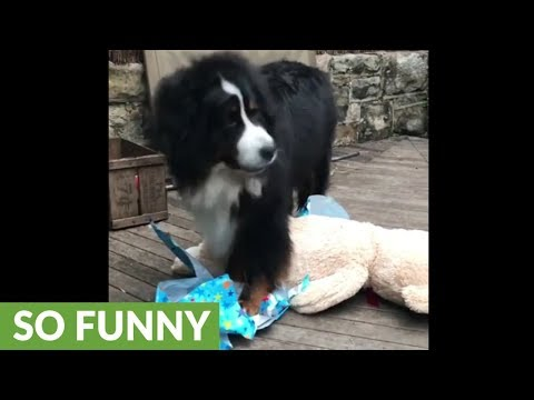 Bernese Mountain Dog excitedly opens birthday present