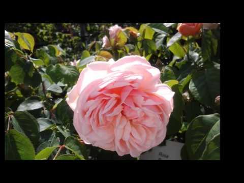 ある愛の詩_薔薇