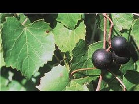 Gardening From Seeds : How to Plant Muscadine Seeds