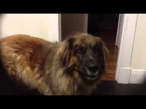 Sharlo my Leonberger talking to me