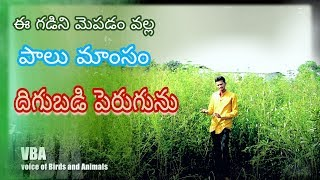 Hedge lucerne grass in telugu | for goat and sheep farming | Bhadri | RSK Farm |