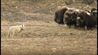 Loups VS bœufs musqués - ZAPPING SAUVAGE
