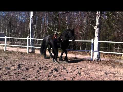 School canter with a friesian
