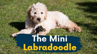 Mini Labradoodle: 11 Reasons This Dog Should Be Your Next Family Member!