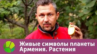Живые символы планеты. Армения. Растения | Живая Планета