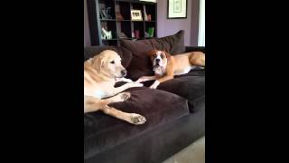 Boxer And Lab Discuss The Meaning Of Life