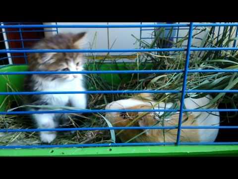 Котёнок В ГОСТЯХ у морской свинки
