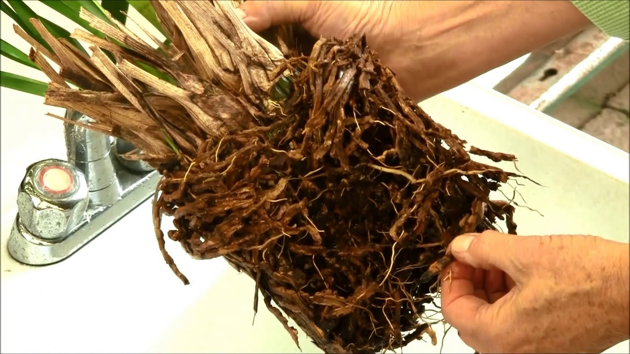 Repotting Cymbidium Orchids Youtube
