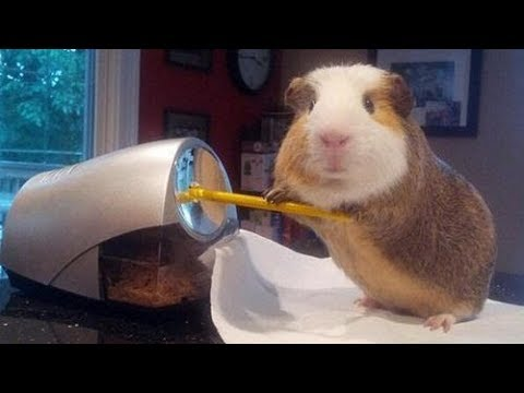 Funny And Cute Guinea Pig Videos #2 - Compilation 2018