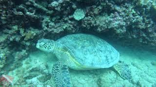 Hawaiian Green Sea Turtle Scuba Diving Tour - vlog 340