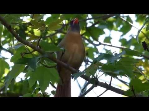 Northern Cardinal female sings