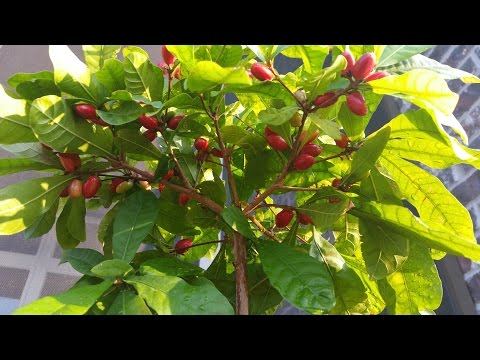 Miracle Fruit Plant with Lots of Riped Berries!