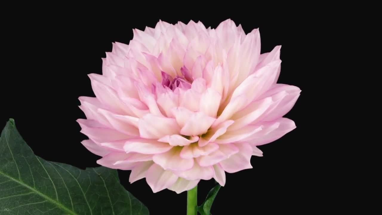 Blooming pink dahlia flower stock video youtube blooming pink dahlia flower stock video izmirmasajfo