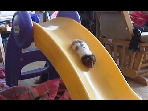 'Hamsters on Slides Compilation' || CFS