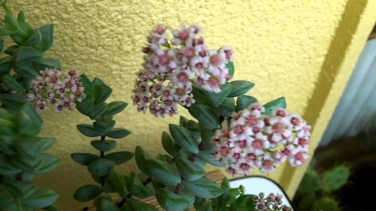 My Crassula Rupestris Succulent Plant In Beautiful Pink Bloom Youtube