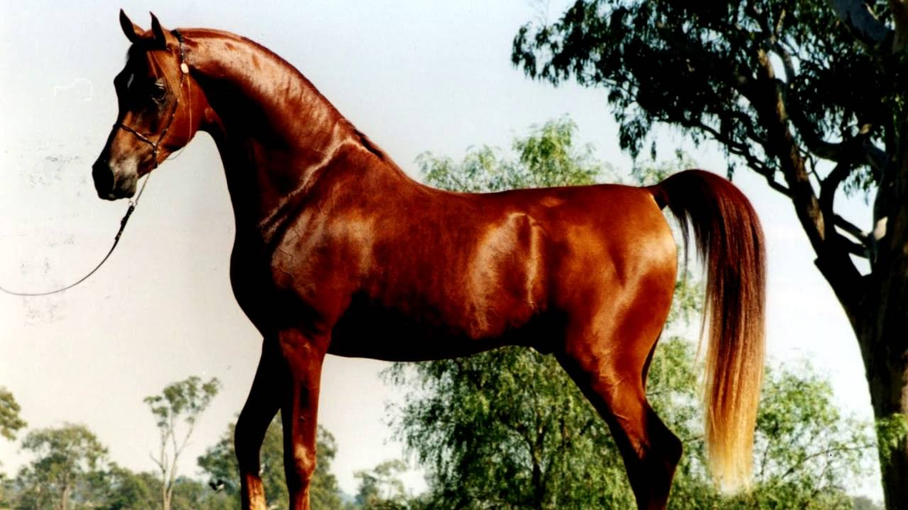 Arabian horse colors youtube - Arabian horse pictures ...