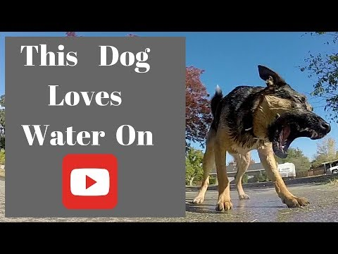 GSD dog playing in water ( Slow Motion )