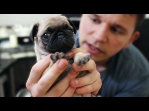 MEET MOLLY - My Tiny Pug :D