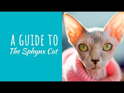 A Guide To The Sphynx Cat