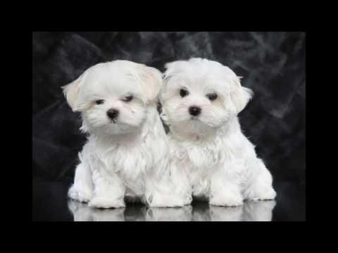 animals Maltese Dog