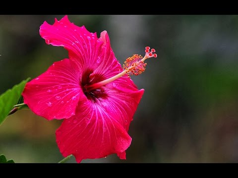 Hibiscus Plant How To Care Grow In Urdu Hindi Youtube