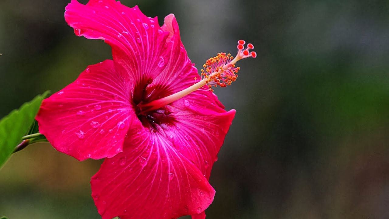 Hibiscus plant how to care grow in urdu hindi youtube hibiscus plant how to care grow in urdu hindi izmirmasajfo