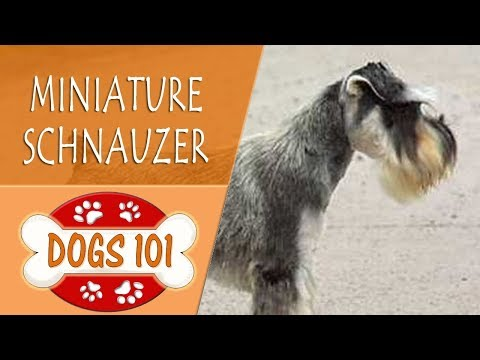 Dogs 101 - MINIATURE SCHNAUZER - Top Dog Facts About the MINIATURE SCHNAUZER