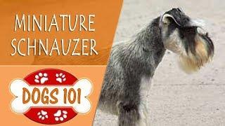 Dogs 101  MINIATURE SCHNAUZER  Top Dog Facts About the MINIATURE SCHNAUZER