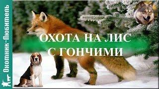 Охота на лис с гончими! ЧУДЕСНАЯ охота