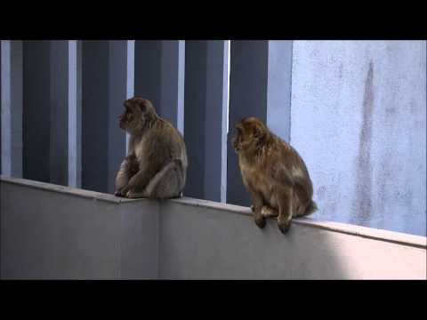 The Barbary Macaques of Gibraltar