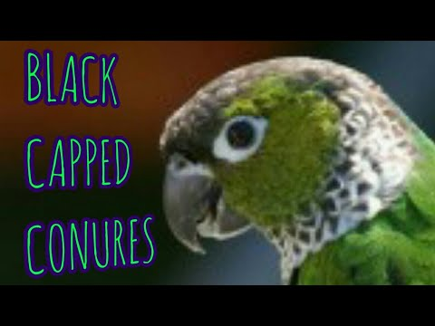 BLACK CAPPED CONURES – hogging the sprouts